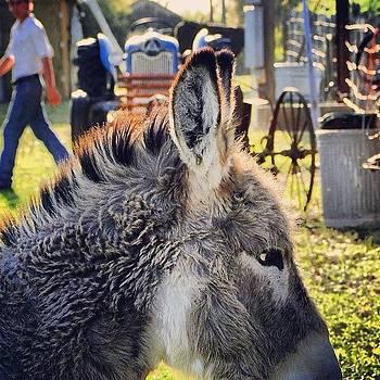 Bella. #donkey #ranch #flatonia #texas by Victoria Haas