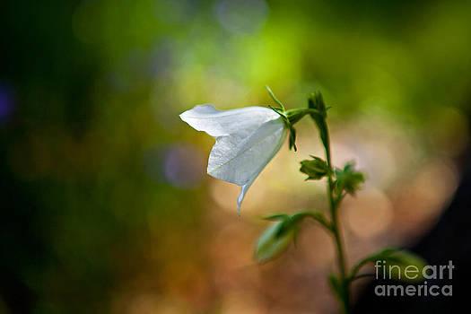 Bellflower by Barbara Schultheis