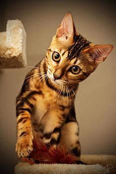 Bengal Kitten by JP Aube