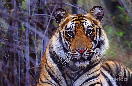 Diane Kurtz - Bengal Tiger
