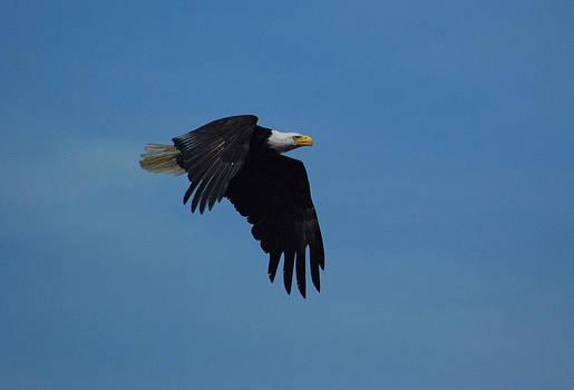 Best Bald Eagle by Wanda Jesfield