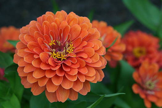 Big Bold Zinnia Flower by Bonnie Boden