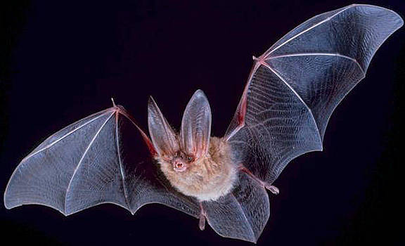 Big Eared Bat by Ademola kareem oshodi