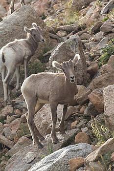 Nathan Mccreery - Big Horn Lambs