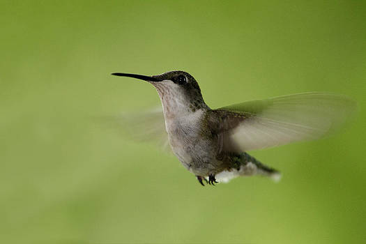 Big Star Humming Bird by Dean Bennett