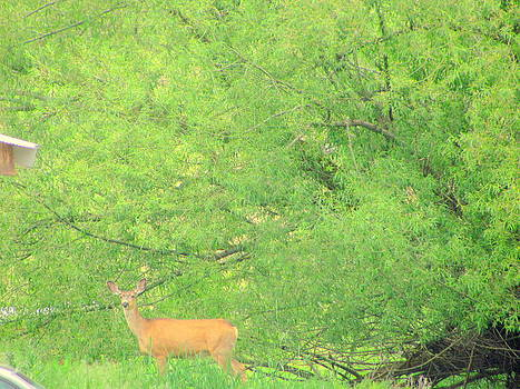 Big White Tailed Deer by Amy Bradley