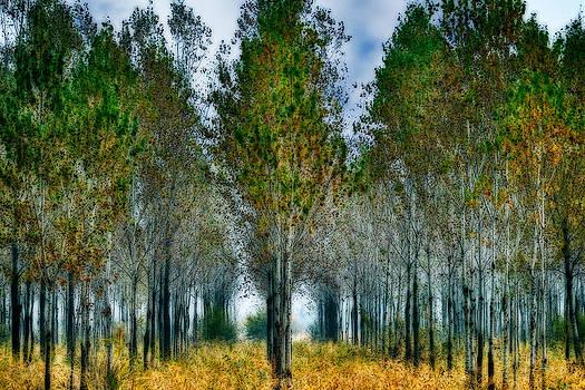 Zoran Buletic - Birch Forest