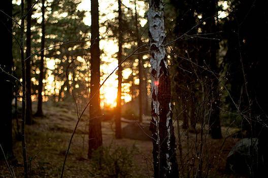 Birch tree during sun dawn by Matthias Siewert
