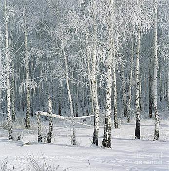 Birch trees  by Elena Filatova