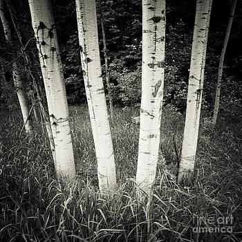 RicharD Murphy - Birch Trees