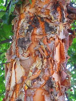 Birch Wood by Lynn Dodds