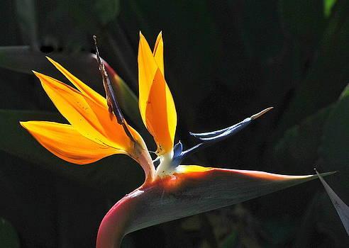 Bird Of Paradise by Eleu  Tabares