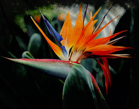 Bird of Paradise by Sharon Kalstek-Coty