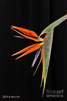 Bird Of Paradise by Tom Andrews