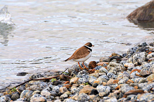Bird Photograph - Plover by the Lake by Light Shaft Images