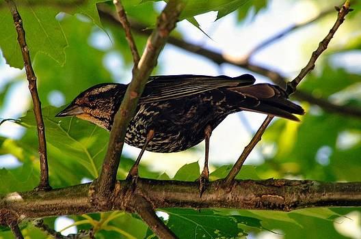 Bird photographs by Pierre-Marc Cardinal