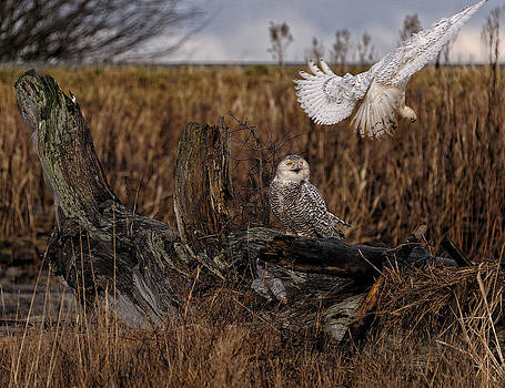 Paul W Sharpe Aka Wizard of Wonders - Birds of BC - No.14 - Snowy Owl Fly By