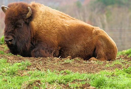 Adam Jewell - Bison At Rest