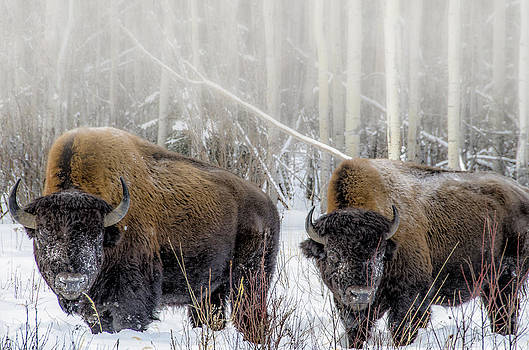 Bison by Steve  Milner