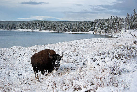 Bison Winter by Donald Knight