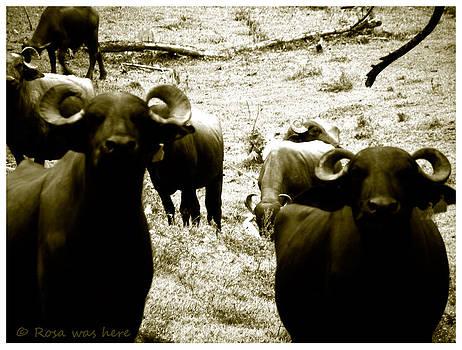 Bisons by Rosa Mahabir