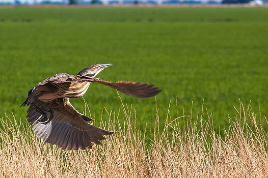 Chris Fullmer - Bittern in Flight