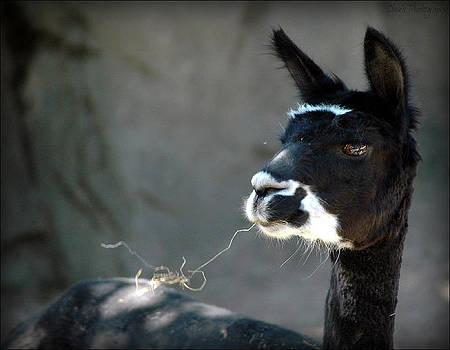 Black Alpaca by Alivia Houdek