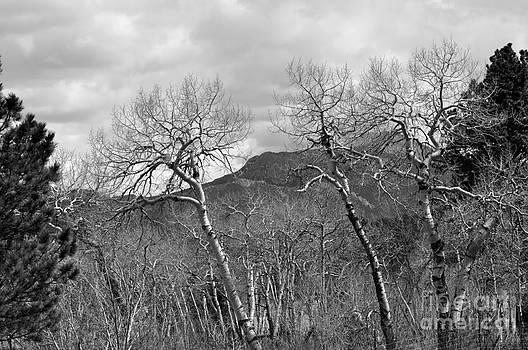 Black and White Aspen by Dorrene BrownButterfield