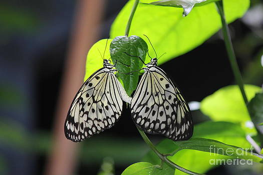 Black and White Butterflies by Scenesational Photos