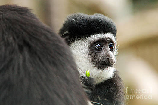 Black and White Colubus Monkey by Pete Reynolds