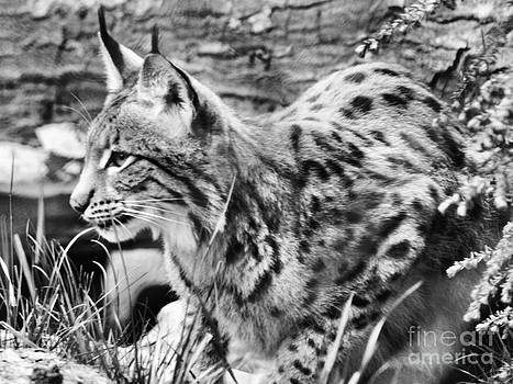 Anne Ferguson - Black and White Lynx