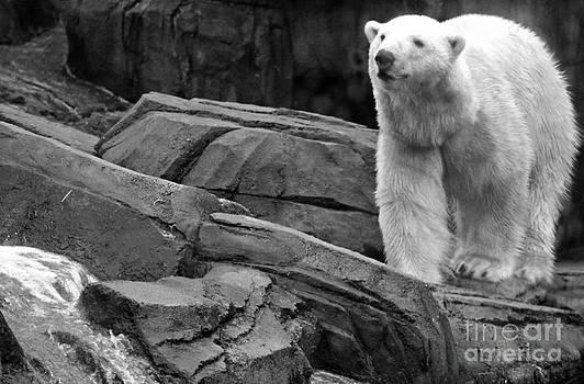 Black and White Polar Bear by Megan Wilson