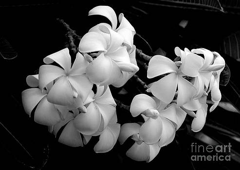 Black and White Singapore Plumeria by Angela DiPietro