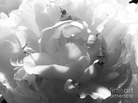 Black and White Study 1 by Caroline Ferrante