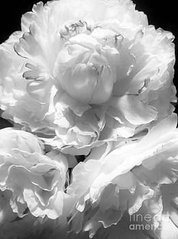 Black and White Study 3 by Caroline Ferrante