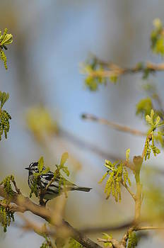 Black and White warbler in oak by Dick Todd
