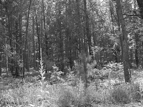Black and White Woods by Jennifer  King