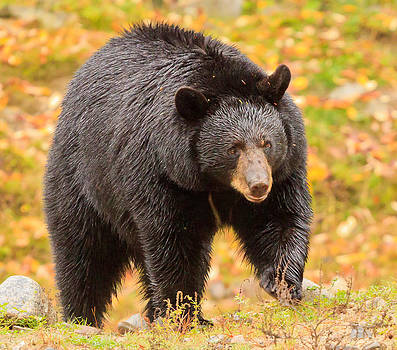 Black Bear by Barbara Barcroft