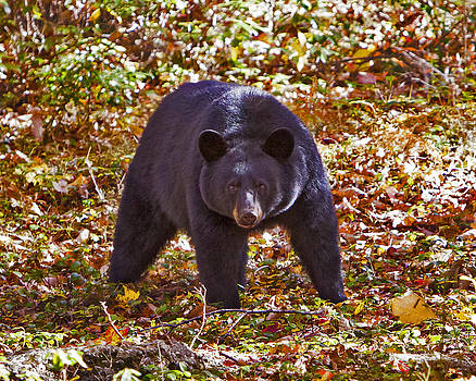 Black Bear in the Wild by John Stoj