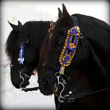 Pedro Cardona Llambias - black beauties - Two black Menorca race horses dressed with the traditional fiesta color laces