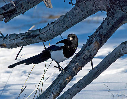 Julie Magers Soulen - Black Billed Magpie