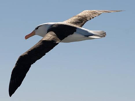 Black-browed albatross in flight by Kathy Dunce