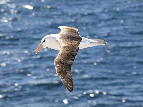 Black-browed albatross over the sea by Kathy Dunce