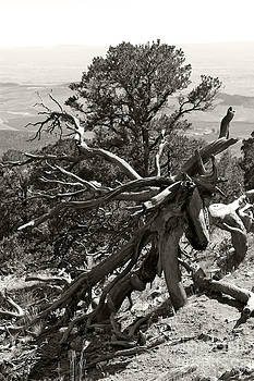 Black Canyon Tree Art BW by Bianca Collins