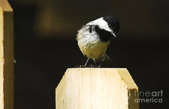 Black Capped Chickadee by Crissy Sherman