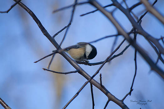 Darlene Bell - Black-capped Chickadee