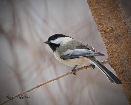 Black Capped Chickadee by Jeff Swanson
