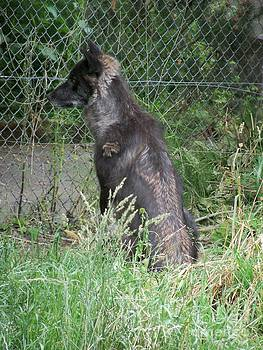 Black Colored Gray Wolf by Lorrie Bible
