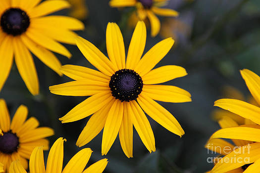 Black-eyed Susan by Chris Hill