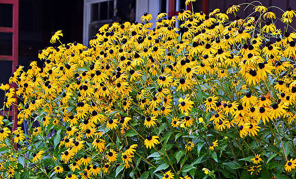 Black Eyed Susan Flowers  by Susan Leggett